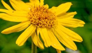 Fleur d'Arnica